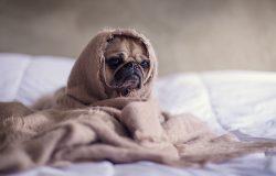 pug-cozy-love
